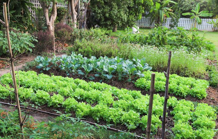 Grządki warzyw ułożone według zasad allelopatii,  a także opis, podział, zastosowanie oraz porady dla ogrodników
