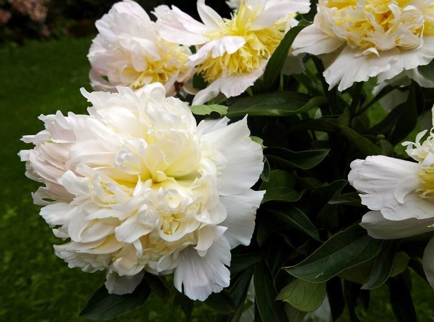 Kwiat peonia w białym kolorze rosnący w ogrodzie, a także opis odmiany, uprawa, pielęgnacja i wymagania oraz stanowisko