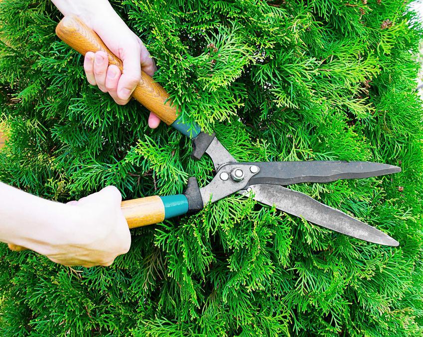 Przycinanie starych tui za pomocą dużych nożyc, a także informacje o przycinaniu krok po kroku, praktyczne porady oraz terminy