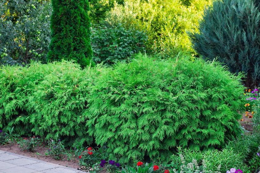 Stare tuje rosnące w ogrodzie, a także przycinanie starych tui krok po kroku, porady oraz terminy