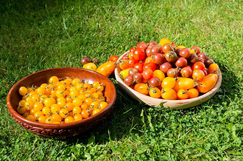 Żółte pomidory koktajlowe w misce leżącej na trawie, a także informacje o uprawie i pielęgnacji żółtych pomidorów