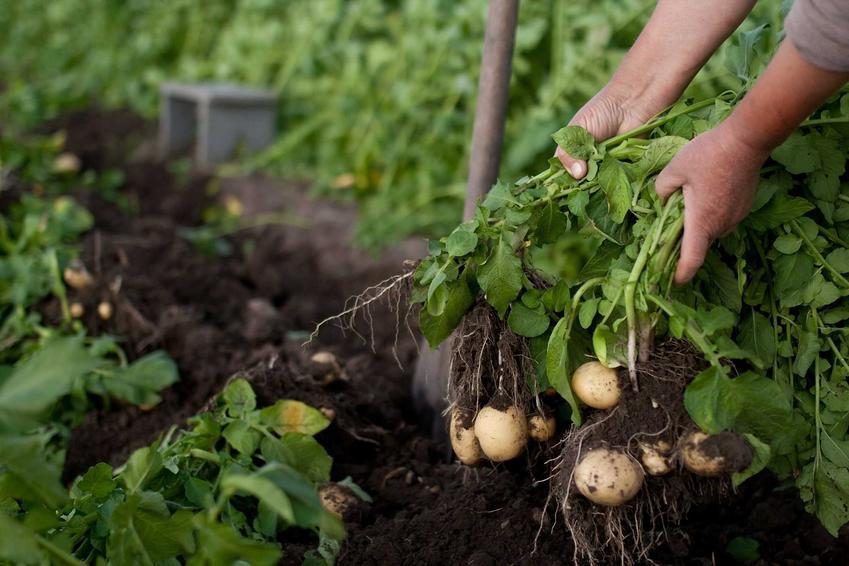 Zbiór ziemniaków 'Gala' w ogrodzie, a takze informacje o odmianie, charakterystyka, sadzenie oraz wymagania w ogrodzie