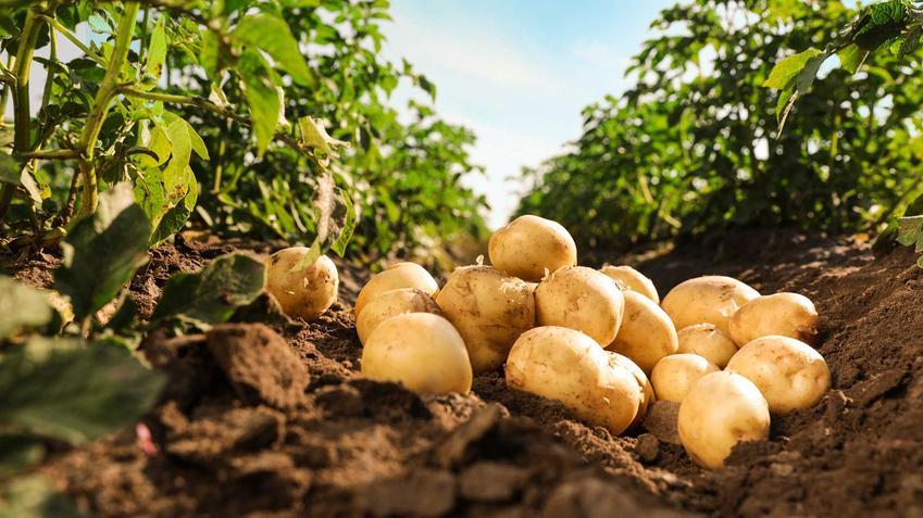 Ziemniaki 'Bellarosa' leżące na ziemi w ogrodzie, a także informacje, opis, uprawa, wymagania i zastosowanie krok po kroku
