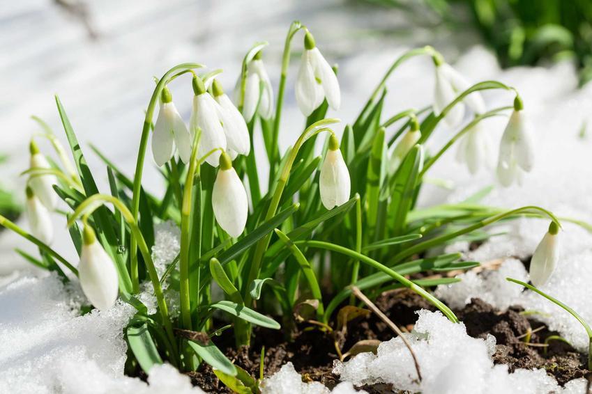 Przebiśnieg śnieżyczka rosnąca w ogrodzie, a także inne rośliny chronione w Polsce, czyli lista gatunków objętych ochroną całkowitą lub częściową w Polsce