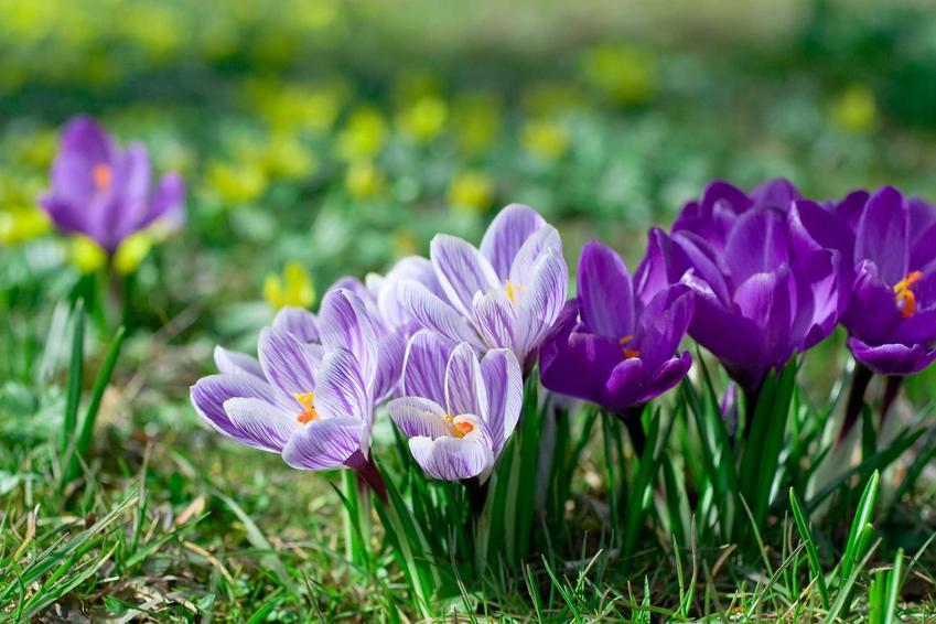 Fioletowe krokusy w ogrodzie, a takze 8 najbardziej lubianych kwiatów wiosennych i roślin kwitnących wiosną w Polsce