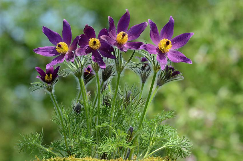 Pierwiosnki w ogrodzie o fioletowych kwiatach, a także TOP8 najlepszych roślin kwitnących wiosną w Polsce i najbardziej lubiane kwiaty wiosenne