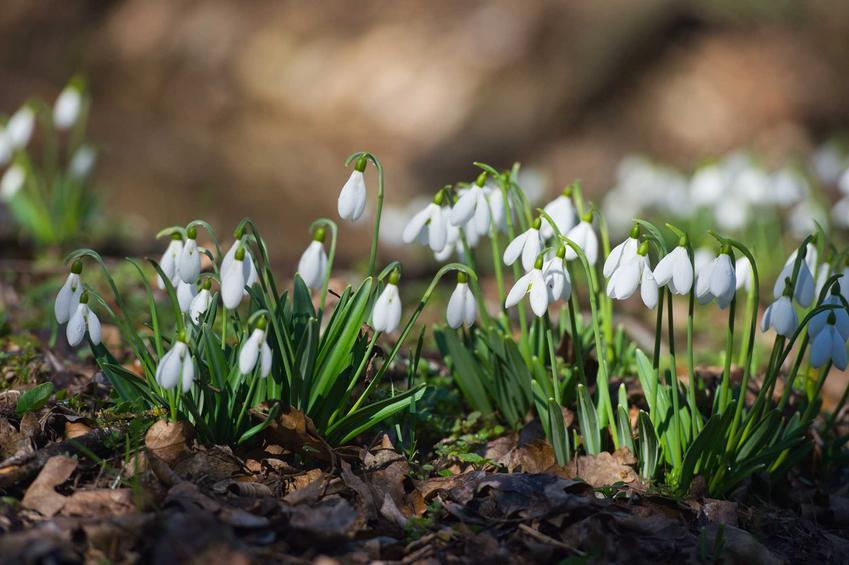 Przebiśnieg śnieżyczka w ogrodzie, a także 8 najbardziej lubianych kwiatów wiosennych oraz rośliny, które kwitną wczesną wiosną