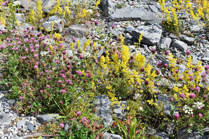 Śnieżyca wiosenna w ogrodzie skalnym, a także 8 najbardziej lubianych roślin wiosennych w Polsce, popularne gatunki kwiatów