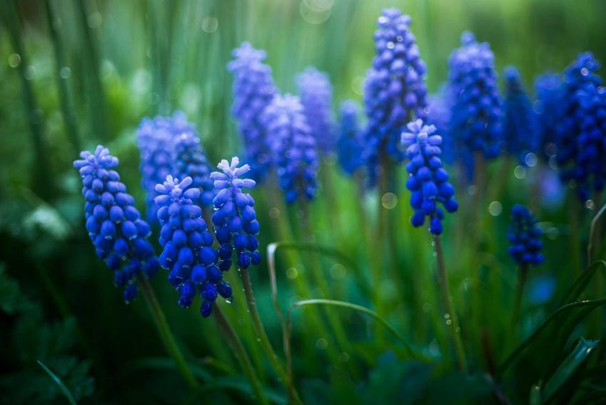 Szafirki o niebieskich kwiatach w ogrodzie, a także TOP8 najbardziej lubianych kwiatów wiosennych oraz roślin kwitnących w Polsce
