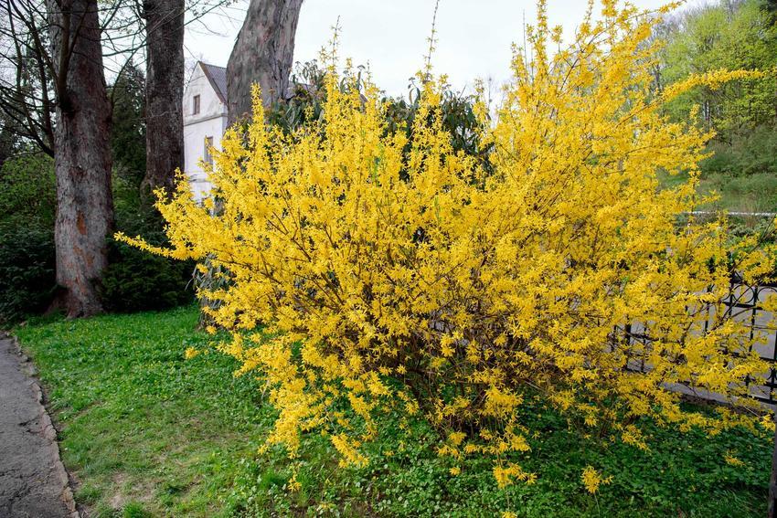 Forsycja w ogrodzie, a także najbardziej lubiane kwiaty wiosenne w Polsce oraz najlepsze rośliny kwitnące wczesną wiosną