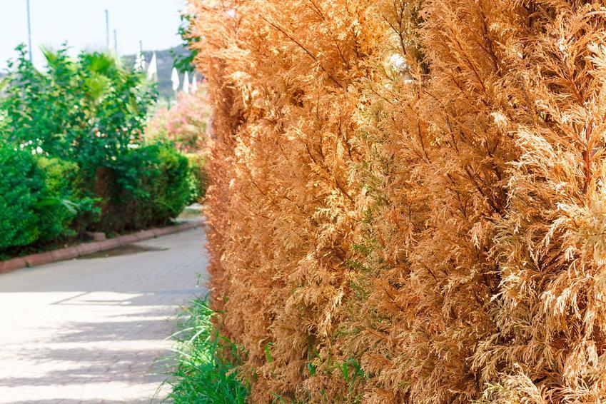 Tuje o zbrązowiałych liściach, a także brązowienie tui krok po kroku, przyczyny, zwlaczanie oraz zapobieganie