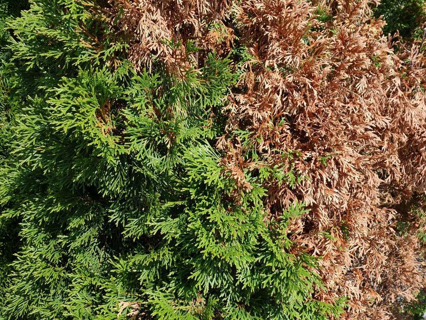 Brązowienie tui rosnącej w ogrodzie, a także przyczyny brązowienia igieł tui, zwalczanie, zapobieganie i sposoby na brązowienie tui