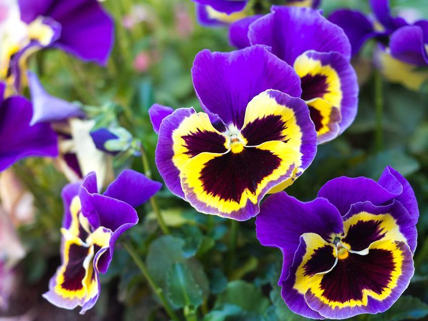 Bratki o fioletowo-żółtych płatkach rosnące w ogrodzie, a także TOP 10 najlepszych kwiatów do ogrodu