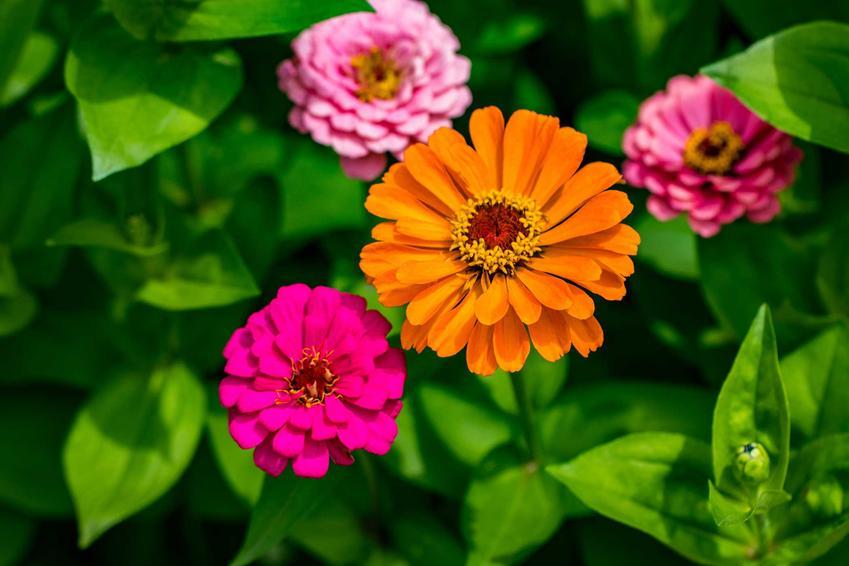 Cynie ogrodowe o różowych i pomarańczowych kwiatach, a także TOP 10 najlepszych kwiatów ogrodowych