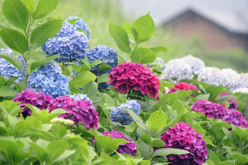 Hortensja ogrodowa, czyli krzew idealny w ogrodzie, a także TOP 10 najlepszych kwiatów ogrodowych