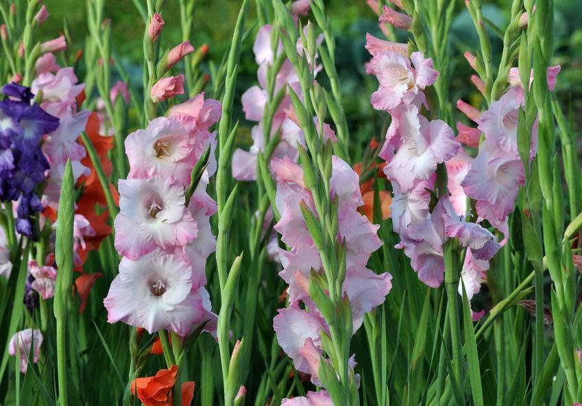 Biało-różowe mieczyki rosnące w ogrodzie, a także TOP 10 najlepszych kwiatów sadzonych w ogrodzie