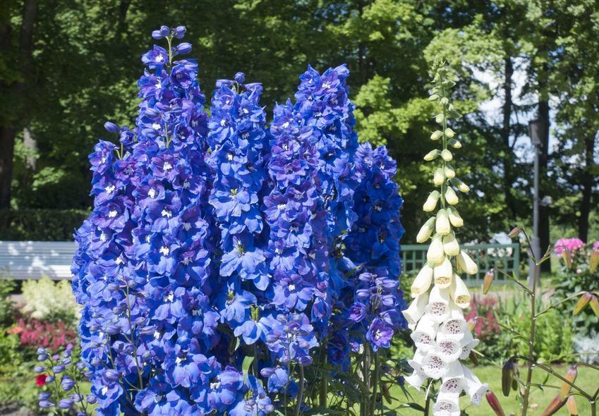 Ostróżka o niebieskich kwiatach rosnąca obok dzwonków karpackich, a także TOP 10 najlepszych kwiatów ogrodowych