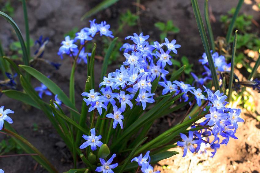 Śnieżnik o delikatnych niebieskich kwiatach, a także TOP 10 najpiękniejszych kwiatów do ogrodu