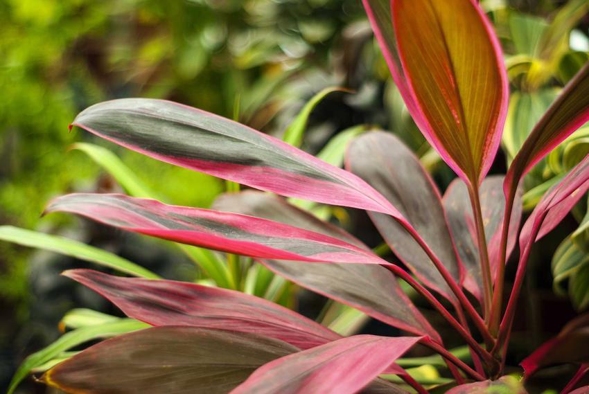Kordylina o różowawych liściach, a także opis rośliny, uprawa, pielęgnacja, porady praktyczne oraz zdjęcia