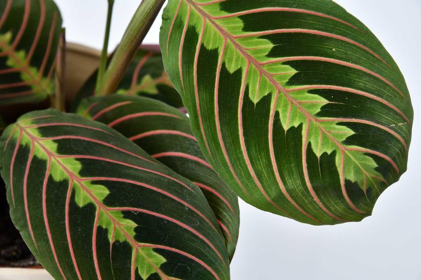 Maranta o ozdobnych liściach z bliska, a także rodzaje rośliny, opis, wymagania, uprawa oraz pielęgnacja krok po kroku
