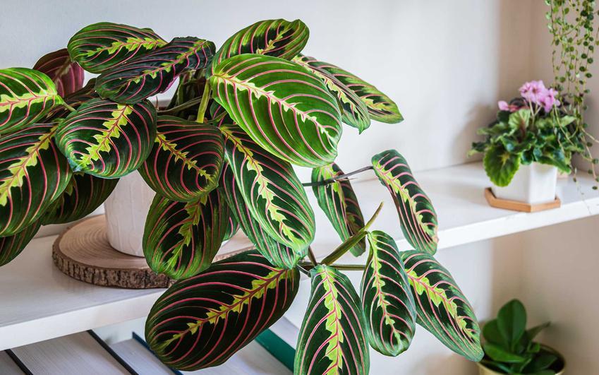 Ozdobna z liści maranta w doniczce stojąca na półce, a także rodzaje, opis, wymagania, uprawa oraz pielęgnacja