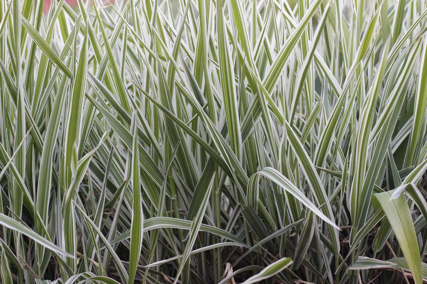 Szarozielone źdźbła trawy mozga trzcinowata, a także opis, występowanie, wymagania, pielęgnacja oraz uprawa