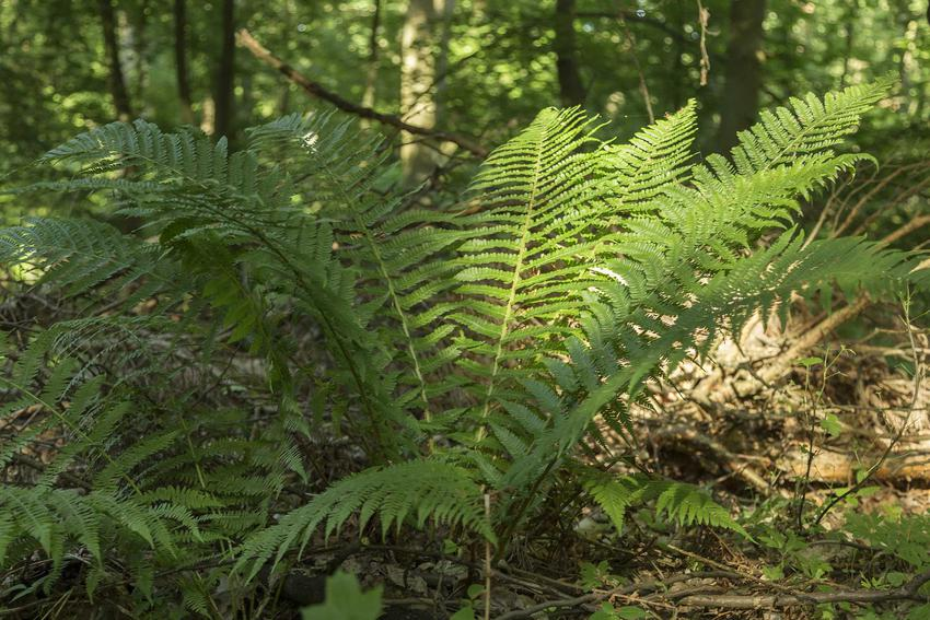 Narecznica samcza rosnąca w ogrodzie wśród drzew, a także opis, uprawa, wymagania oraz pielęgnacja
