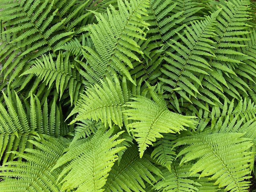 Długie liście narecznicy samczej, ozdobnej paproci ogrodowej, a także jej opis, uprawa oraz pielęgnacja