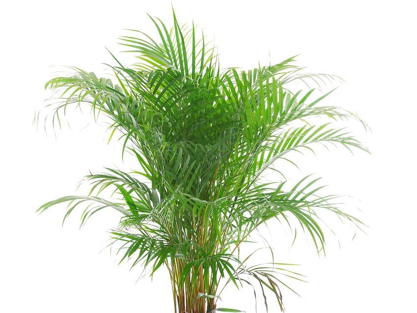 Palma areka oraz inne ciekawe i piękne kwiaty doniczkowe i kwiaty domowe, czyli polecane rośliny doniczkowe do domu krok po kroku
