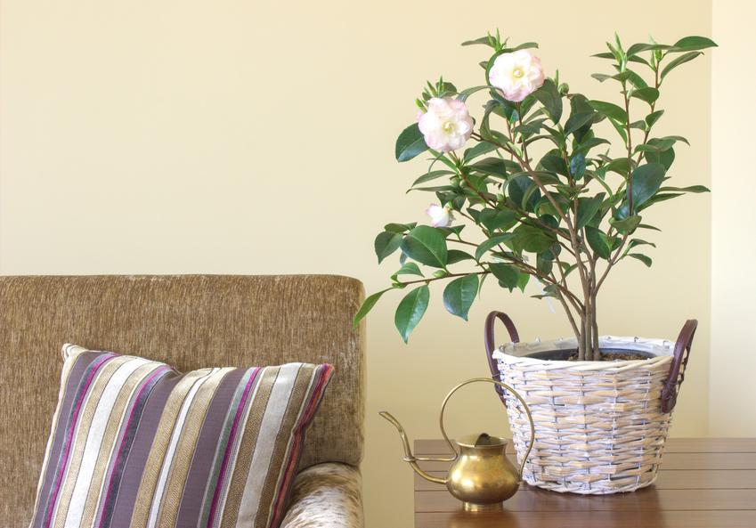 Kamelia w doniczce oraz inne ciekawe i piękne kwiaty doniczkowe i kwiaty domowe, czyli polecane rośliny doniczkowe do domu krok po kroku