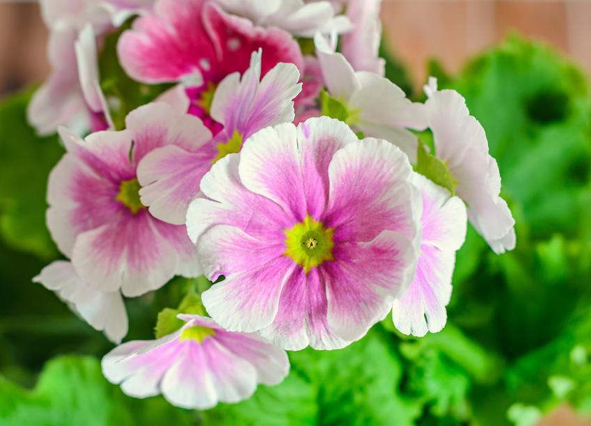 Primula oraz inne ciekawe i piękne kwiaty doniczkowe i kwiaty domowe, czyli polecane rośliny doniczkowe do domu krok po kroku