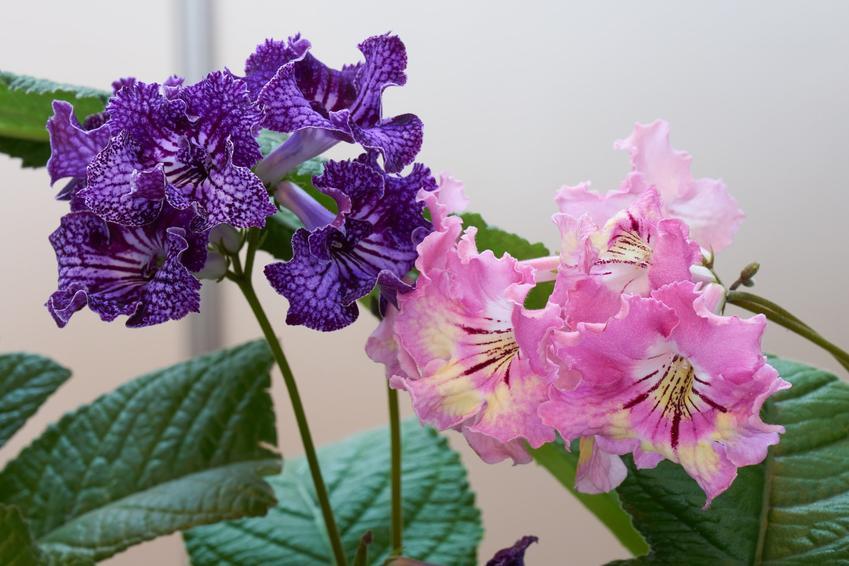 Skrętnik oraz inne ciekawe i piękne kwiaty doniczkowe i kwiaty domowe, czyli polecane rośliny doniczkowe do domu krok po kroku