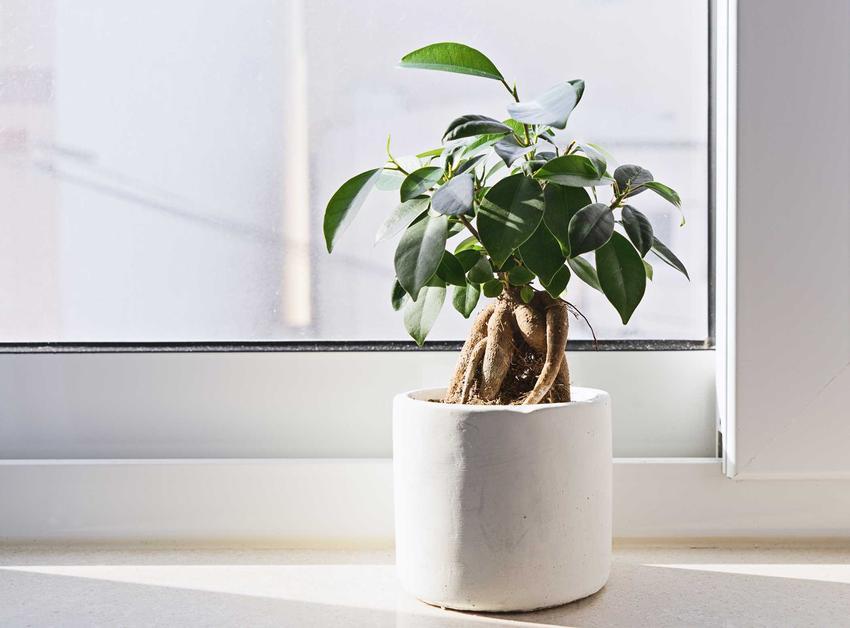 Fikus benjamina w białej doniczce, a także rośliny doniczkowe, które warto mieć w domu