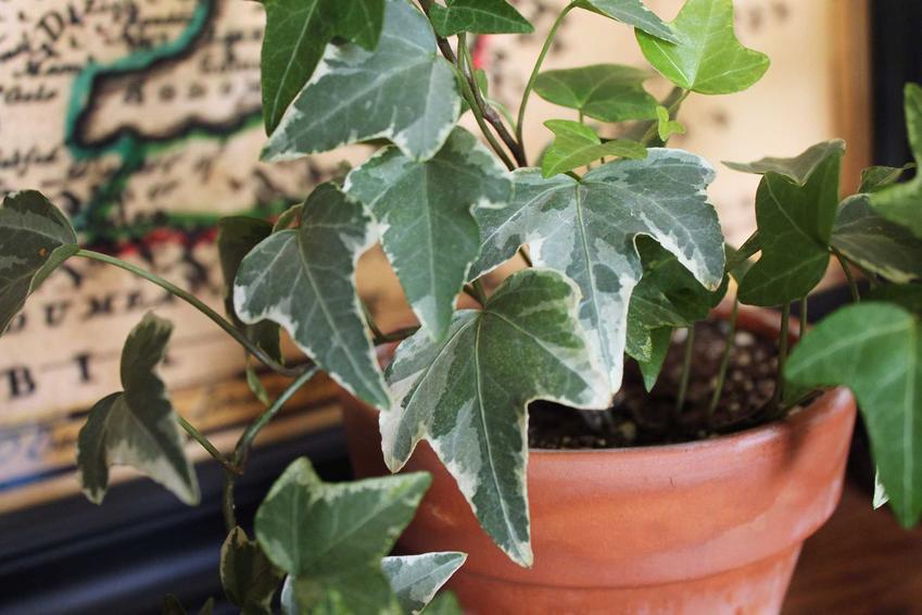 Bluszcz pospolity w doniczce, a także rośliny doniczkowe, które szczególnie warto uprawiać w domu