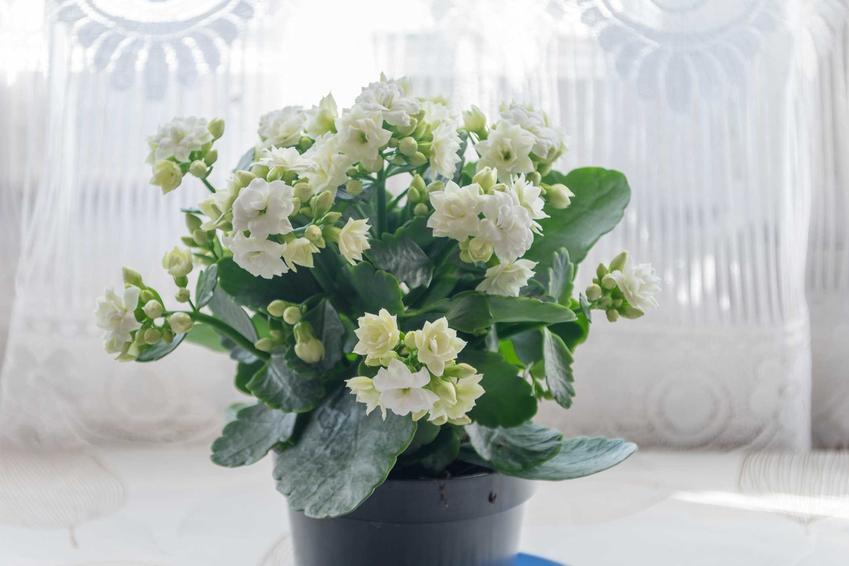 Kalanchoe o białych kwiatach w czasie kwitnienia, a także rośliny doniczkowe najbardziej warte uwagi w uprawie domowej