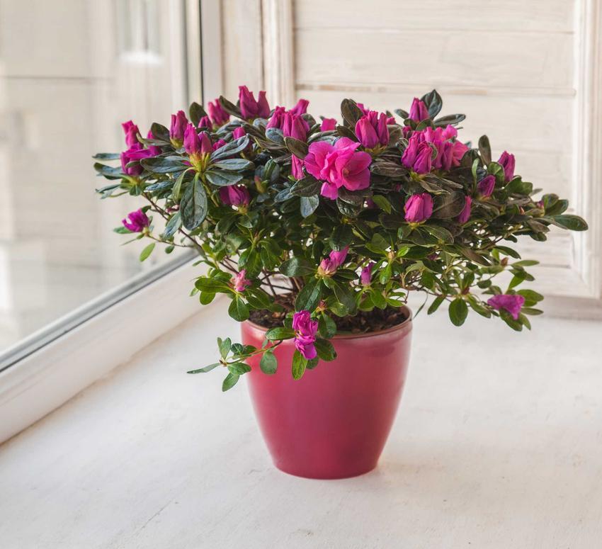 Rododendron o fioletowych kwiatach w doniczce, a także rośliny doniczkowe, które warto mieć w domu