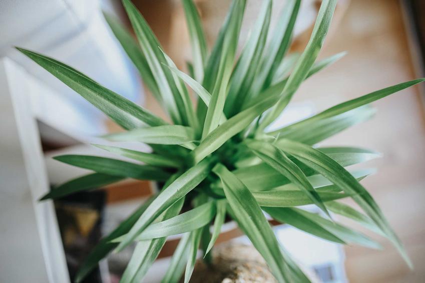 Zielistka o zielonych liściach, a także rośliny doniczkowe, które warto mieć w domu