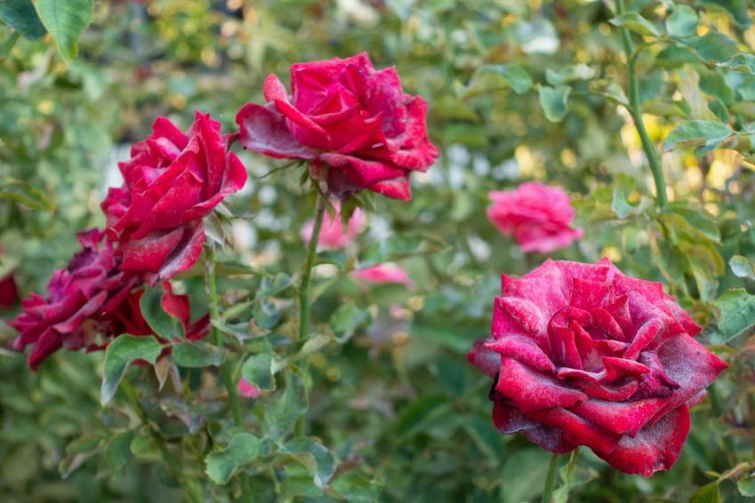 Szara pleśń na kwiatach róż, a także najczęstsze choroby róż, szkodniki i choroby grzybowe