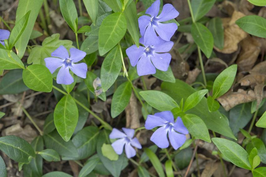 Barwinek pospolity o delikatnych niebieskich kwiatach, a także TOP 8 roślin bylinowych na działkę