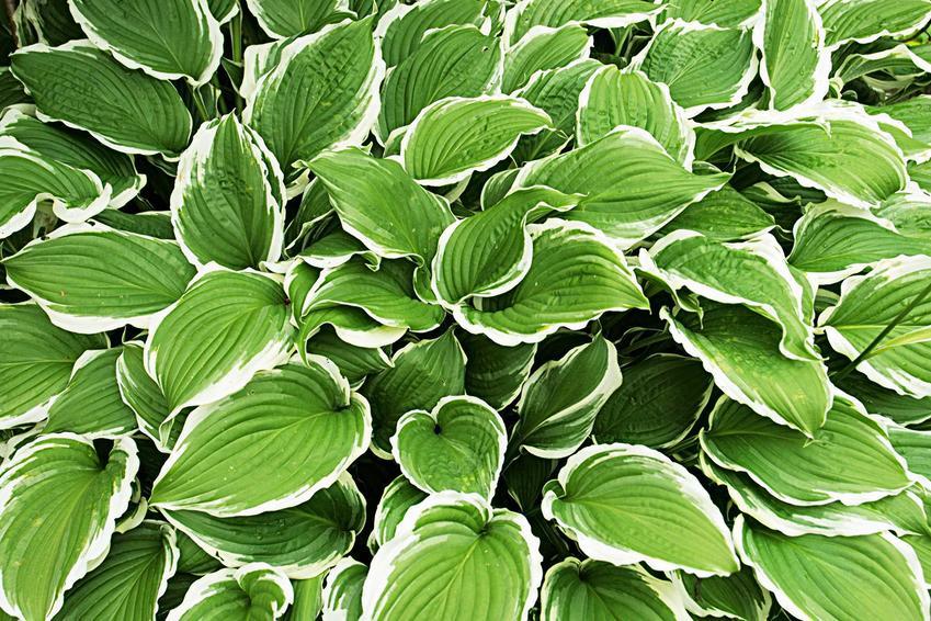 Funkia ogrodowa o jasnych brzegach, a także TOP 8 roślin wieloletnich na działkę i do ogrodu