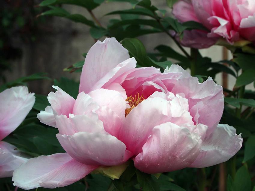 Peonie chińskie o różowych kwiatach, a także a także TOP 8 roślin wieloletnich do ogrodów