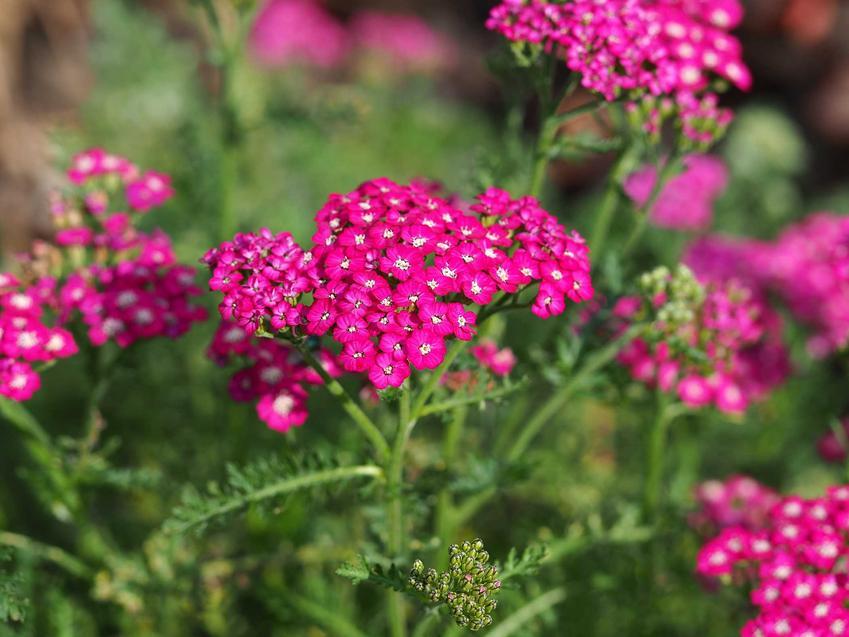 Krwawnik o różowych kwiatach, a także TOP 8 roślin wieloletnich na działkę