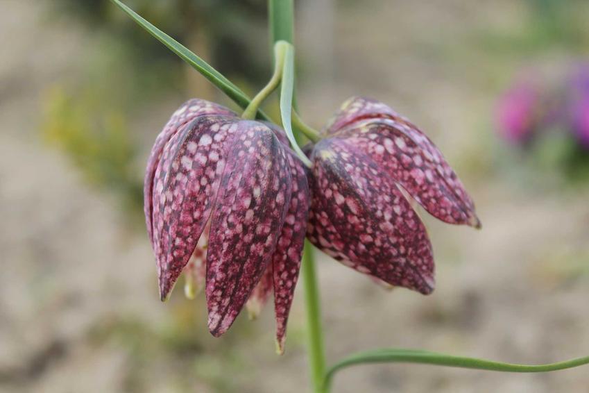 Szachownica o fioletowym kolorze w ogrodzie, a także TOP 8 roślin wieloletnich idealnych na działkę