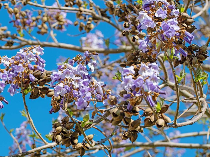 Paulownia omszona o jasnofioletowych kwiatach, a także opis, sadzenie, wymagania, pielęgnacja oraz uprawa