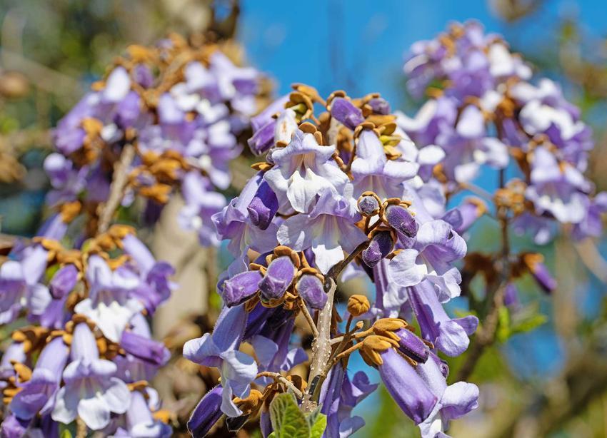 Fioletowe kwiaty paulowni krok po kroku, czyli sadzenie, wymagania, uprawa, pielęgnacja oraz opis