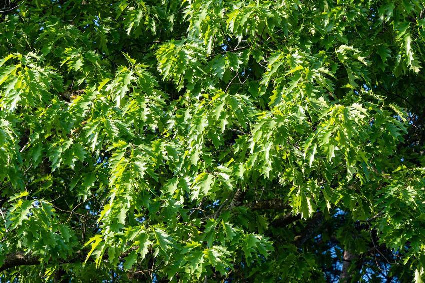 Drzewo dębu błotnego krok po kroku, a także informacje, sadzenie, opinie, opis oraz wymagania rośliny w ogrodzie