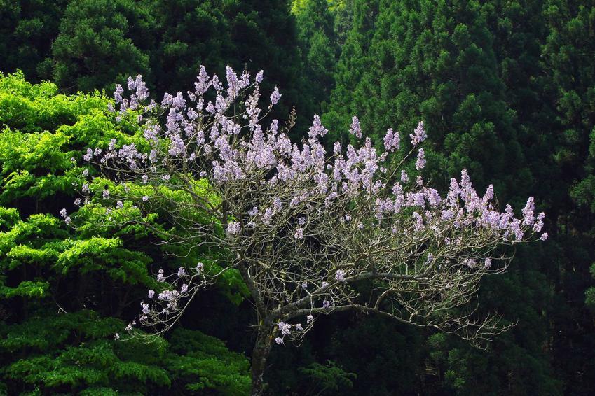 Paulownia 'Shan Tong' w okresie kwitnienia, a także opis, opinie, wymagania, uprawa, pielęgnacja oraz stanowisko i właściwości rośliny