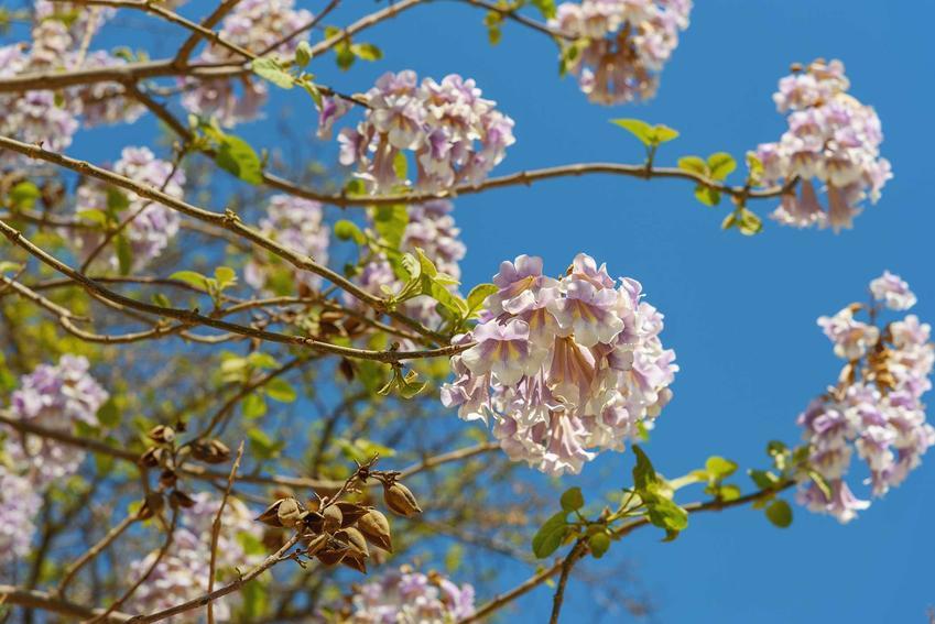 Kwiaty paulowni Shan Tong, a także opis, uprawa, pielęgnacja oraz wymagania rośliny w ogrodzie i stanowisko