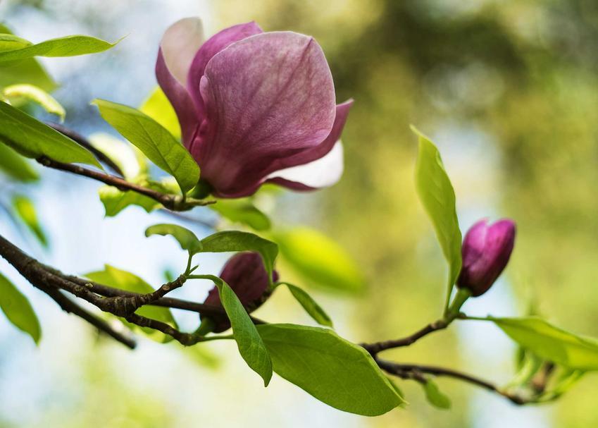 Kwiaty i pączki magnolii 'Genie' krok po kroku, a także sadzenie, uprawa, pielęgnacja, rozmnażanie oraz opis