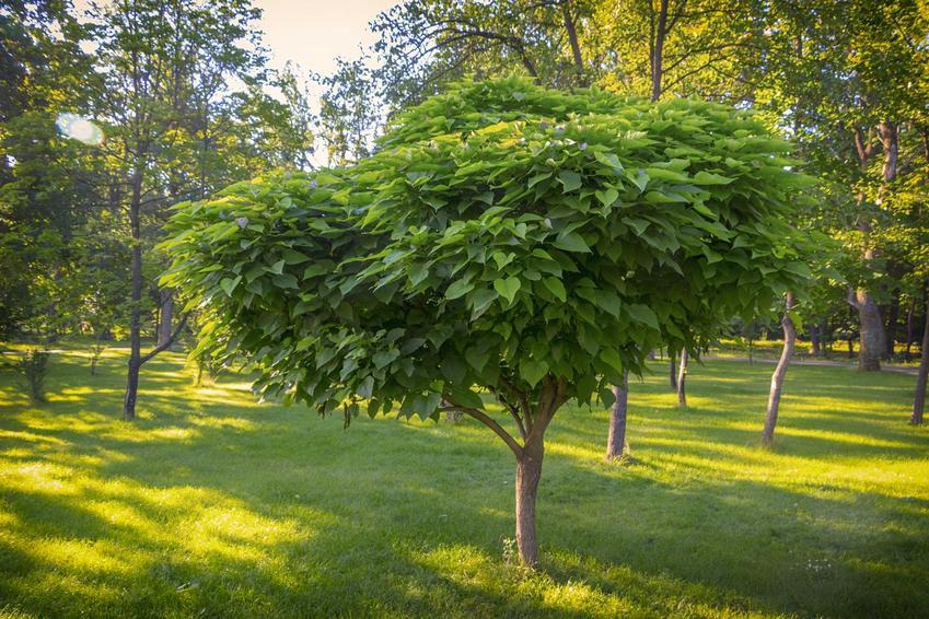 Catalpa 'Nana' w ogrodzie, a także opis gatunku i odmiany, cena sadzonek, cięcie, wymagania oraz pielęgnacja krok po kroku